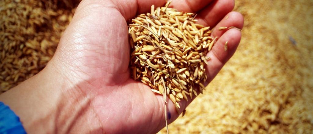 Se ve el detalle de la mano de una persona que tiene en la palma un puñado de trigo.